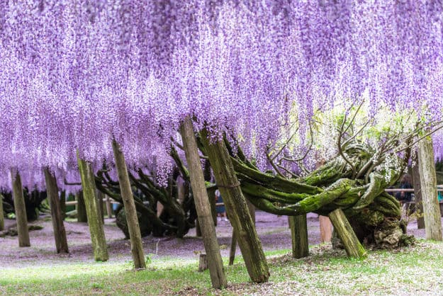 Trees in Wisteria