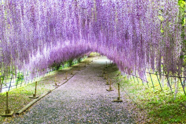 Wisteria tunnel main