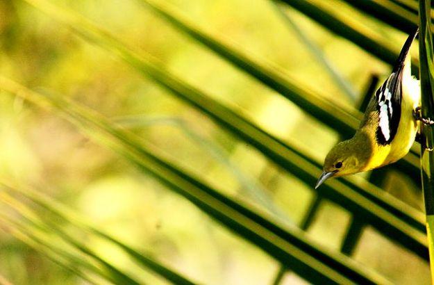 A Common Iora at Sajnekhali Bird Sanctuary, Photograph Courtesy: Sumita Roy Dutta/Wikimedia Commons