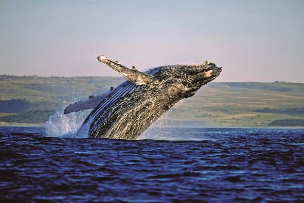 Whale watching in Hermanus South Africa, Photograph courtesy: South African Tourism