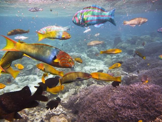 Colored coral reef fish, Lord Howe Island, Australia