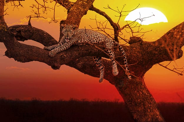 Kruger National Park - lepard