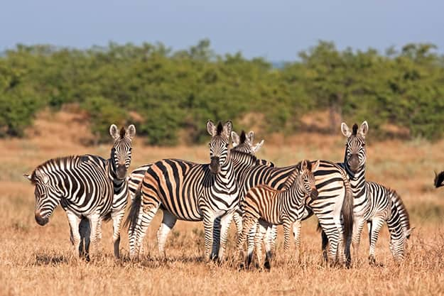 Kruger National Park - zebras