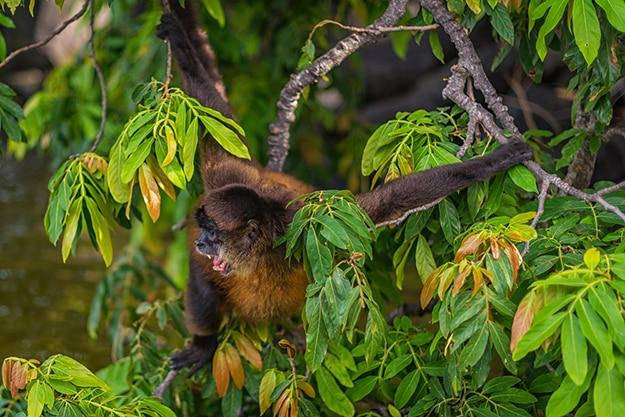 Spider monkey in Nicaragua