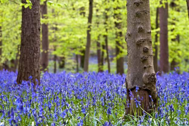 Bluebells in Whippendell Woods located in Watford, Hertfordshire