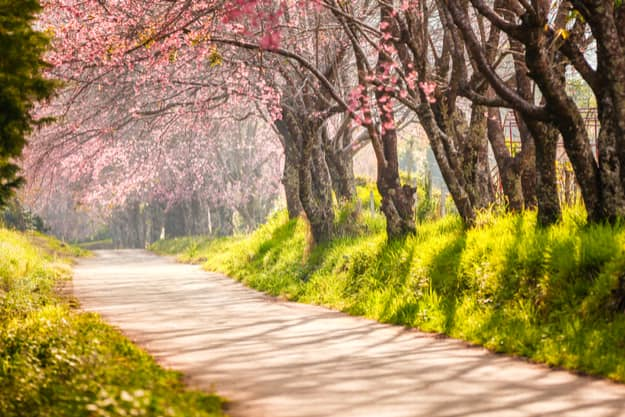 The Second Indian Cherry Blossom Festival will happen in Shillong