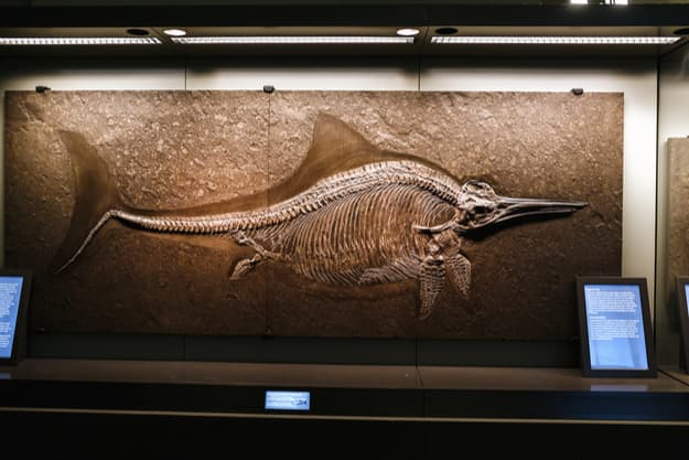 Ichthyosaurus fossil skeleton of the early Jurassic period in Vienna's Museum of Natural History