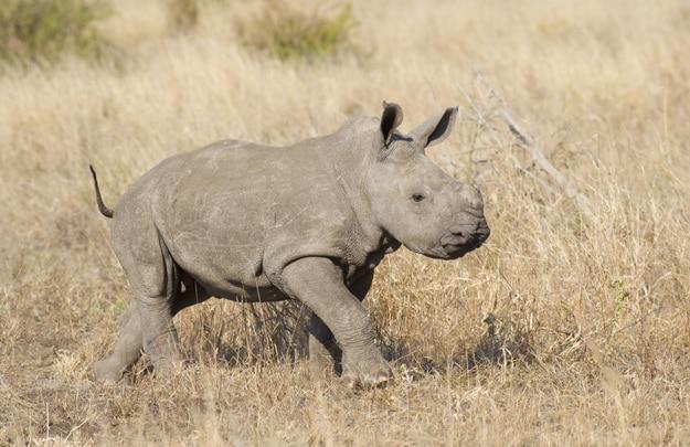 Rhino Capture In Kruger National Park