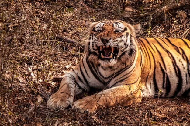 Close up of an impressive Bengal tiger showing its fangs, Kanha National Park