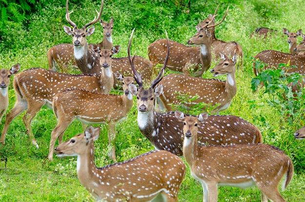 Deer - Bandipur