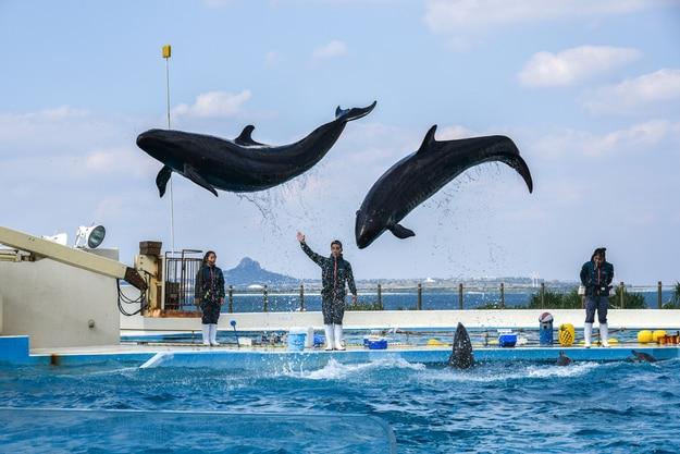 Okinawa Churaumi Aquarium dolphin show in Okinawa