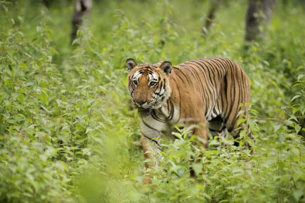 Royal Bengal Tiger in Bandipur National Park