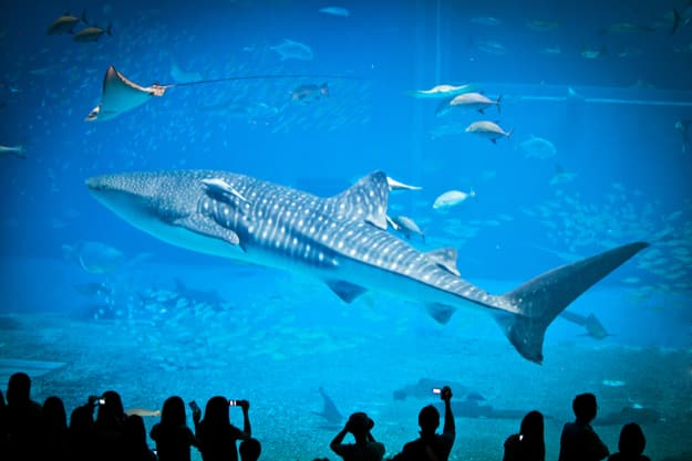 The famous aquarium in Okinawa. Whale sharks lives in one of the biggest water tank in the world