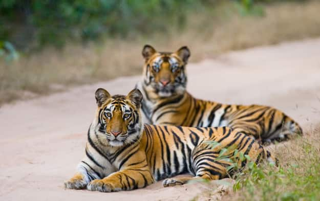 Two Bengal tiger lying on the road in the jungle. India. Bandhavgarh National Park. Madhya Pradesh