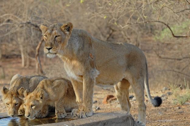 Lions in Sasan Gir, Gir National Park