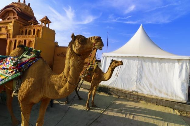 Camel ride at the great Rann of Kutch (Rann Utsav)