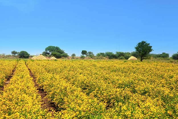 Vijayawada - yellow mustard field