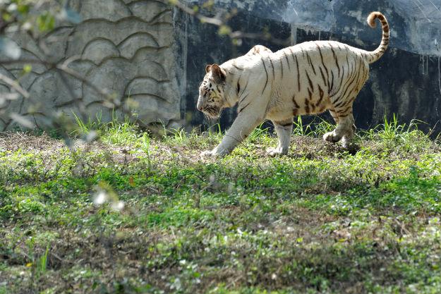 World's First White Tiger Safari: How to Reach Rewa in Madhya Pradesh by Road, Train and Flight