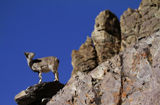 Bharal or blue sheep Pseudois nayaur in Rumbak Valley in Ladakh India. Hemis High Altitude National Park (2)