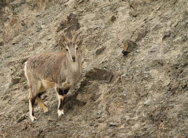 Bharal or blue sheep Pseudois nayaur in Rumbak Valley in Ladakh India. Hemis High Altitude National Park
