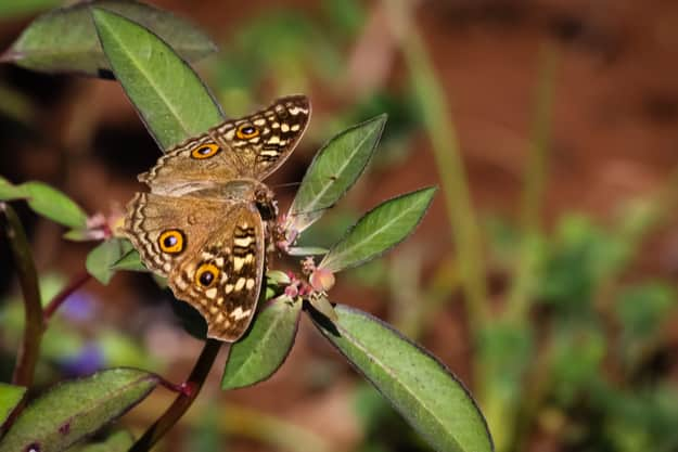 Close up of a butterfly, Bandhavgarh National Park