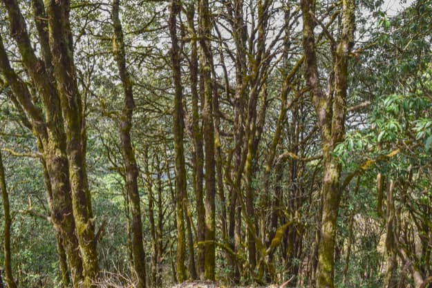 Evergreen tropical rainforest where trees covered with moss in Binsar