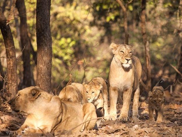 Gujarat photo Gir Forest lion
