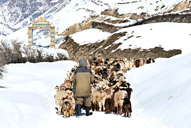 Himachal sheep photo