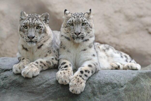 Pair of snow leopard with clear rock background, Hemis National Park, Kashmir