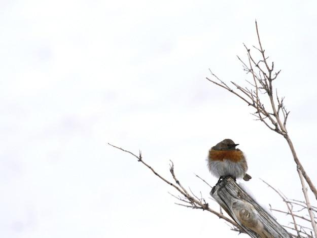 Robin accentor, Prunella rubeculoides in Hemis High Altitude National Park in Ladakh