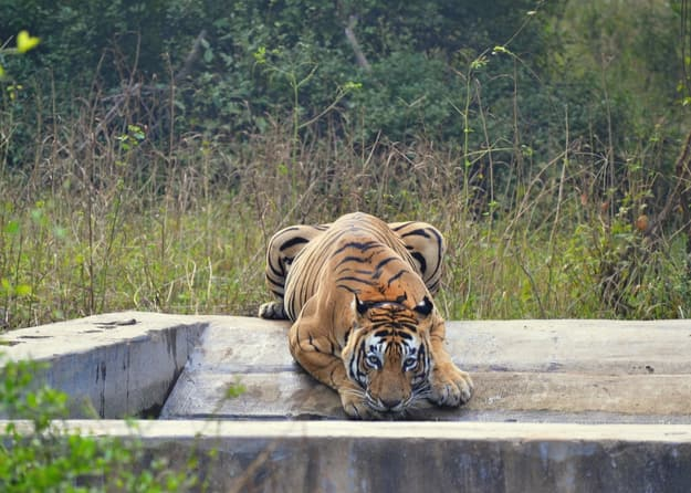 A thirsty tiger drinks from a water tank at Sariska