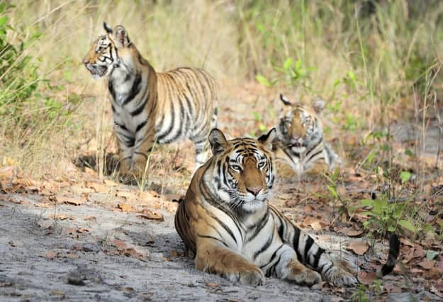 Tigress and cubs. In a sunny day the tigress lies on a forest glade. India . Bandhavgarh National Park