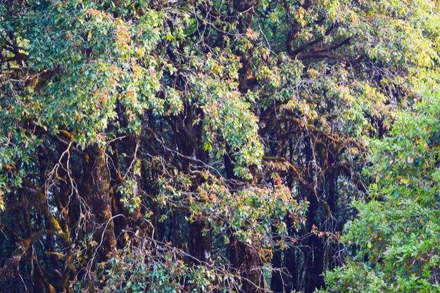 Tropical Himalayan forest at Binsar, Uttarakhand