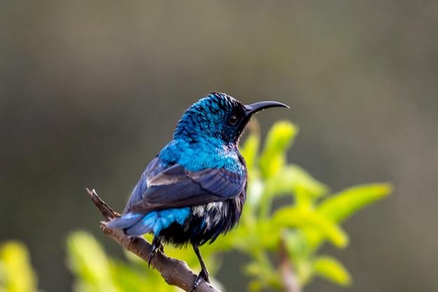 Purple Sunbird at Bharatpur Wildlife Sanctuary