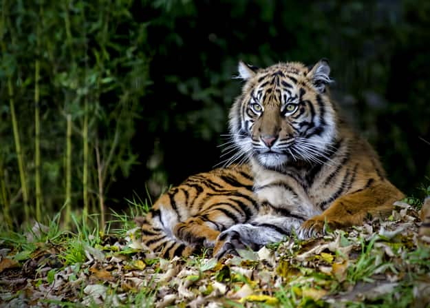 This Video Documents Efforts to Save the Sumatran Tiger