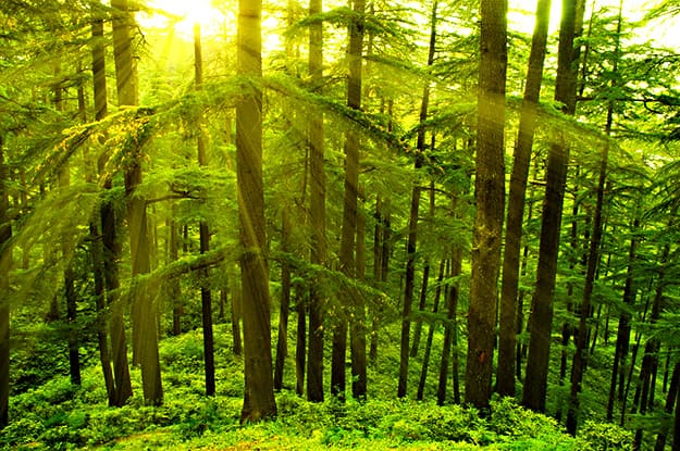 shimla pine trees photo