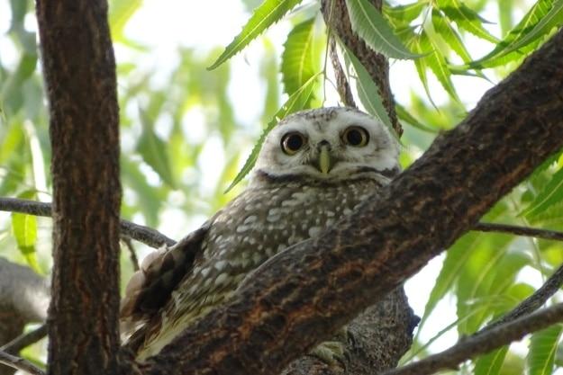 A Spotted Owlet in Guda Bishnoiyan