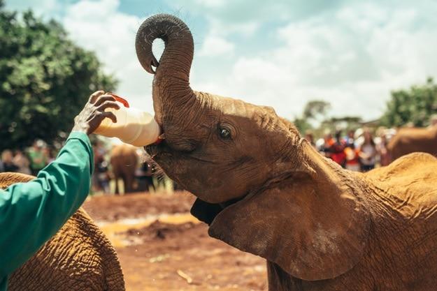 Baby elephant feeding with milk in the National park Nairobi, Kenya