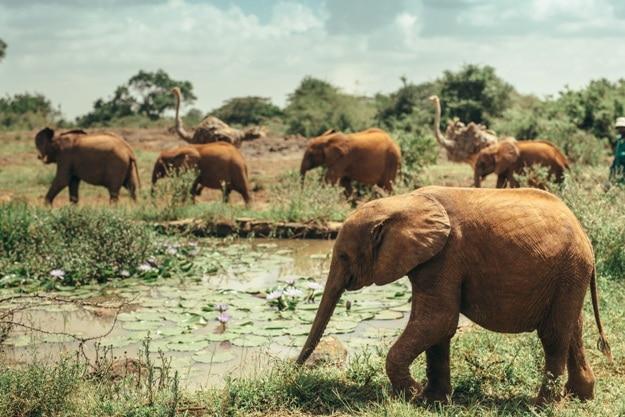 Baby elephants walking free in the National park Nairobi, Kenya