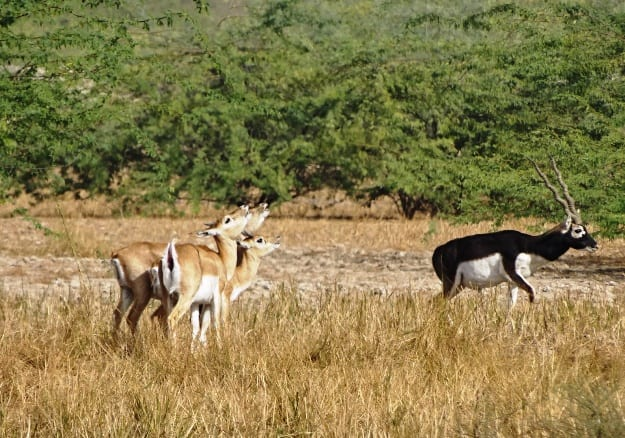 Blackbucks in Bishnoi