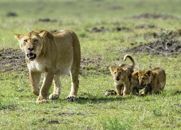 Lioness and Cubs playing in the wild in Maasai Mara National Park, Nairobi Kenya