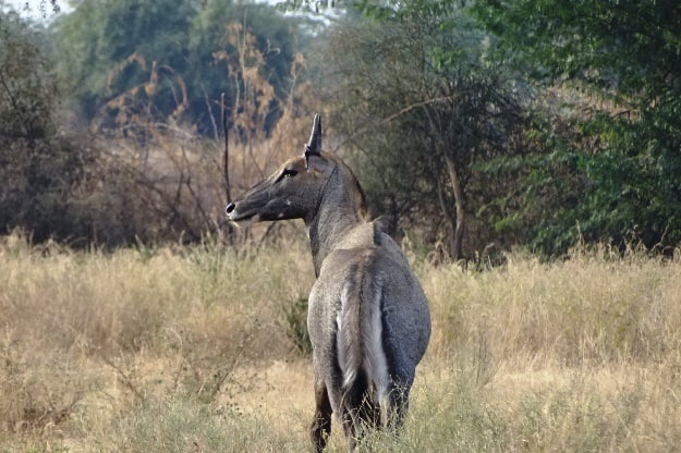 Male Nilgai in Bishnoi