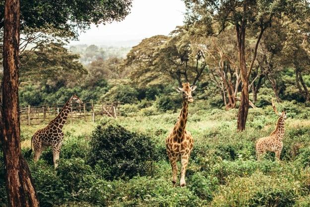 Three giraffes in national park Nairobi, Kenya