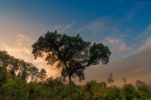 A big tree with sun set background, Silerygaon Village, Sikkim