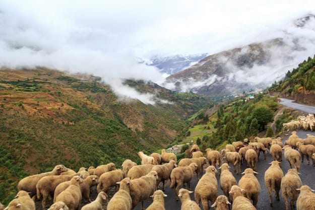 Flock of sheep walking on the mountain road Manali - Leh in Darcha, Himachal Pradesh, India