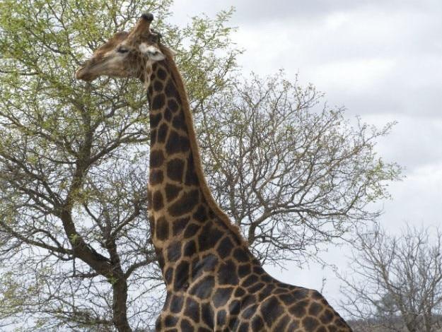 KrugerHamiltonTentedCamp-GameDrive-Giraffe
