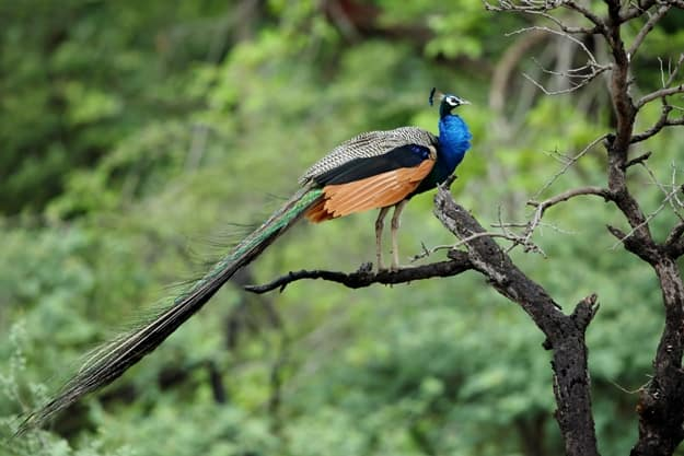 Peacock perched on tree at Ranthambore National Park