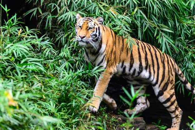 Ranthambore tiger 1