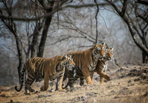 Ranthambore tiger 11