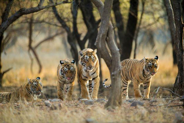 Ranthambore tiger 2